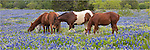 This panorama photo of Horses in a field of bluebonnets was taken near Marble Falls, Texas.