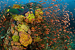 Thousands of Anthias or fairy basslets abound in the reef. Anilao, Batangas, Philippines 29 March 2010