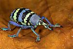 Weevil, Eupholus magnificus, Yapen island, Western New Guinea, Indonesia, captive.Papua New Guinea....