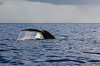 Humpback whale flipping tail in the air off the coast of Maui.
