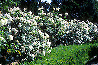 Rosa Iceberg floribunda rose shrub with white flowers, barrier hedge in landscaping