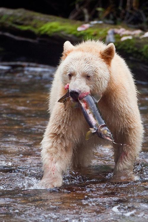 "Kermode ""Spirit"" Bear with caught Pink Salmon"