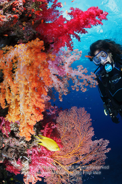 qe0814-D. scuba diver (model released) watches Golden Damselfish (Amblyglyphidodon aureus) flit amongst soft corals (Dendronephthya sp.) and gorgonian sea fans (Melithaea sp.). Fiji, tropical Pacific Ocean..Photo Copyright © Brandon Cole. All rights reserved worldwide.  www.brandoncole.com..This photo is NOT free. It is NOT in the public domain. This photo is a Copyrighted Work, registered with the US Copyright Office. .Rights to reproduction of photograph granted only upon payment in full of agreed upon licensing fee. Any use of this photo prior to such payment is an infringement of copyright and punishable by fines up to  $150,000 USD...Brandon Cole.MARINE PHOTOGRAPHY.http://www.brandoncole.com.email: brandoncole@msn.com.4917 N. Boeing Rd..Spokane Valley, WA  99206  USA.tel: 509-535-3489