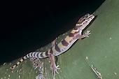 Western Banded Gecko (Coleonyx variegatus) Tucson, Arizona, USA