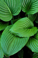 Close-up of Hosta plantaginea, Rhododendron Walk, Stanley Park, Vancouver, BC