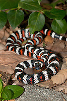 439350002 a captive wildlife rescue california mountain king snake lampropeltis zonata parvirubra coiled in leaf litter in the san gabriel mountains of southern california united states