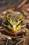 Green Frog - Query Marsh or Edible or Pool Frog
