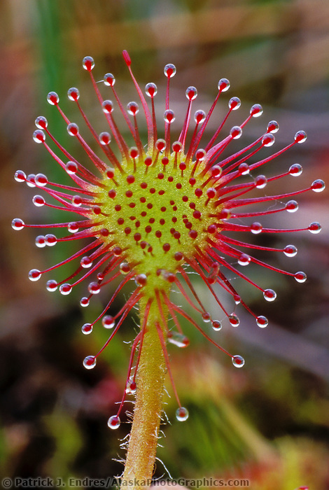 Sun Dew, carnivorous plant, Prince William Sound, Alaska.