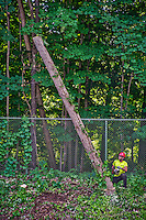 A worker watches as a section of tree he cut falls away where a crew cleared trees form the right-of-way on Cleveland Ave. in Westerville.