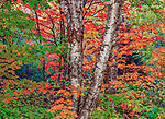 Sugar maples and paper birch are highlighted with autumn light. As these deciduous leaves begin to age, the green pigment of the chlorophyll is absorbed back into the tree, allowing the red, orange and yellow pigments to stand out.<br />