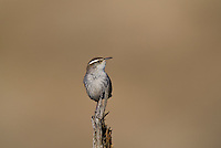 598030020 a wild bewick's wren thryomanes bewickii  perched on a twig in kern county california united states