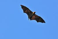 .Madagascar Fruit Bat or Flying Fox (Pteropus rufus), adult in flight, Berenty Private Reserve, Madagascar