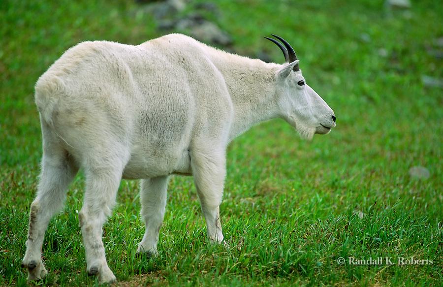A mountain goat billy (Oreamnos Americanus) in green grass, Glacier National Park, Montana