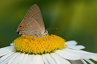 Ruddy Hairstreak (Electrostrymon sangala) using morning light, filtered through some Texas oaks. Shasta Daisy perch. Note the lights effect seen in the background.