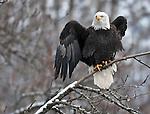 Bald eagle, Chilkat Eagle Preserve, near Haines, Alaska