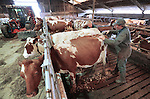 Foto: VidiPhoto<br /> <br /> DODEWAARD - Bij de eerste melkveehouders is de koeienkapsalon weer geopend. Melkveehouder Jan-Willem van Rooijen (r) scheert woensdag samen met zijn hulp Corn&eacute; van Mourik de eerste koeien. Omdat de dieren vanaf zaterdag de hele winter op stal staan, moet hun warme jas uit. Bovendien is het korte kapsel een stuk hygi&euml;nischer dan een harig model. Mooi geschoren is niet lelijk. Terwijl de meeste boeren een koeienkapper inhuren, doet Van Rooijen het liever zelf. &quot;Het is leuk werk en bovendien bespaar ik hiermee zo'n 1000 euro.&quot; Van Rooijen heeft 140 melkoeien en het laten scheren kost ongeveer 7 euro per koe. Het scheren van de hele veestapel kost ongeveer vier werkdagen. Daarom doen Jan-Willem en Corn&eacute; dat tussen de boerenbedrijven door.