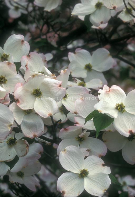 White flowering dogwood tree flowers Cornus florida Cherokee Princess, with very large flowers in spring May