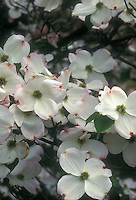 White flowering dogwood tree flowers Cornus florida Cherokee Princess, with very large flowers in spring May