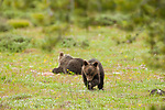 Grizzly cubs graze in a green meadow in Grand Teton National Park, Wyoming.