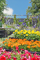 Hot colored marigolds and petunias annual flowers in raised beds, with cool garden colors of blue in climbers and perennials at rear, with blue sky and clouds