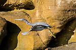 A gray reef egret takes flight.  Prince Fredrick Harbor, Mitchell River National Park, Kimberly Coast, Australia