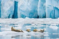 Harbor seals hauled out on icebergs in front of Surprise glacier, Prince William Sound, Alaska.