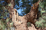 Tamarisk tree trunk with branches (Tamarix articulata). Cloese-up image.