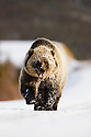 Young grizzly (brown bear) walking on Dempster Highway in snow, late fall, Yukon, Canada