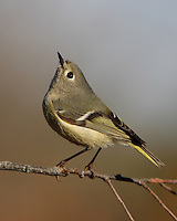 Ruby-crowned Kinglet female. Title inspired by Elton John.