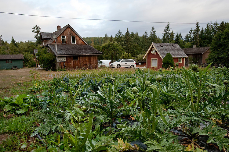 8/24/2008--Salt Spring Island, British Columbia, Canada..Artichokes and other vegetables grown at the Foxglove Farm on Salt Spring Island, with cabins for guests behind. The produce is grown on Foxglove farm, on Salt Spring Island, one of the Gulf Islands off the coast of Vancouver Island. The farm also offers lodging and cabins...©2009 Stuart Isett. All rights reserved