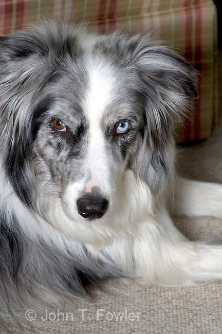 Red Border Collie Blue Eyes Blue Merle Border Collie With