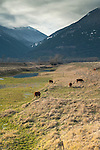 Idaho, Bonners Ferry.  Cattle peacefully grazing the the Kootenai Valley with the Selkirk mountains in the background