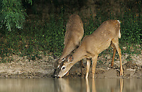 White-tailed Deer, Odocoileus virginianus, adult drinking, Starr County, Rio Grande Valley, Texas, USA