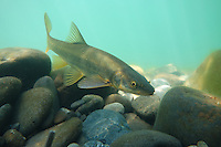 Northern Pikeminnow (Squawfish)<br /> <br /> Todd Pearsons/Engbretson Underwater Photography