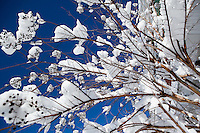 Snow sits on the branches of a bush in the Germantown section of Philadelphia on February 11, 2010, after a record blizzard dropped 28.5 inches of snow on the city, making the 2009-2010 winter the snowiest on record since 1884.