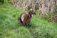 Soay sheep (Ovis aries) Ewe with lamb at Singing Frogs Farm