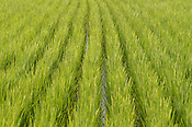 Rice field in mid growing season, in Japan.