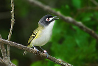 590500001 a highly endangered banded black-capped vireo vireo atricapilla sings or vocalizes while perched on a tree branch at balcones canyonlands national wildlife refuge in travis county texas