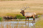 Bull Elk in Creek, Norris Junction, Yellowstone National Park, Wyoming