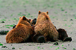 A brown bear lies on her back on the tidal flats letting her cubs nurse on the Alaskan Peninsula.