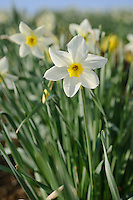 Narcissus 'White Lady'