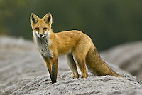 Red Fox pauses while hunting from on top of some old hay bales