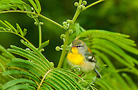 561000036 a wild juvenile male northern parula setophaga americana - was parula americana warbler perches in a huisache plant on south padre island cameron county texas united states