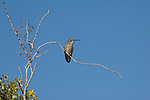A hummingbird rests on a bare branch against a deep blue sky in Joshua Tree National Monument