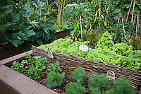 raised bed intensive organic vegetable garden with herbs, dill and cilantro with peppers and lettuce
