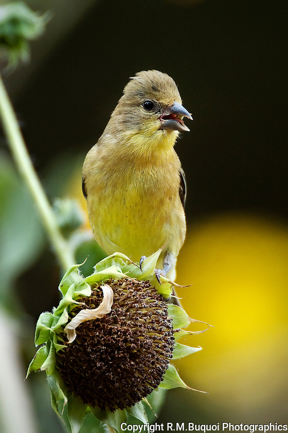 Lesser Goldfinch on sunflower head