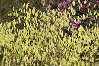 Corylopsis spicata in early spring yellow bloom
