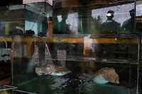 "Restaurant on ocean in Zhapo with reflections on fish tanks and cuttlefish (also shot in kitchen) phone is (0662) 3891191.Zhapo, PRC China has a huge Jellyfish fisherie, the entire town slings laundry tubs of gelatinous mucous like jellyfish if it is cloudy day and they can see the masses of jelly from their boats.  You have to be aware of cultural differences... People in China like to eat jellyfish because of the texture.  But, to me, a jellyfish fishery is ""fishing down the food chain.""  With less and less predators (sharks are down 80 percent) this kind of creature that is lower on the food chain tends to thrive..There are four guys carrying laundry tubs of mucous goo.... they are Cai Xing Duan (crooked back), Cai Xing Ping, Wang Fu Quan, and Cai Xiao Yuan... Contact is thru Cai Xing Ping (who helped us on other stuff) address is Qing An Street, Zhapo, Yangjiang, Guangdong, China..Main contact:.Nicole_artbud@hotmail.com or nicolecheng@vip.sina.com.Cell phone number: +(86) 139 2214 1600.Nicole Cheng.Senior Associate-Guangzhou.Burson Marsteller.Room 6805A, CITIC Plaza, 233 Tianhe North Road.Guangzhou, 510613 P.R.C..+8620 3877 1820 X229 Work Phone.3877 1815 Fax.Nicole_cheng@bm.com.Initially reef fish only came from the South China Sea, but transport developed and fish now come from all over S.E. Asia.  The whole reef fish trade crashed with the 97-98 HK stock market crash.  LRF trade is directly linked to economy.  With China coming online financially the trade is booming.  These fish are often used for celebratory meals in Hong Kong, but in Guangzhou the fish are so cheap and the apartments are so small that many people eat out...  And the stereotype is that there is lots of food left on the table.  Often a fish is popular because of its color... more than its taste."