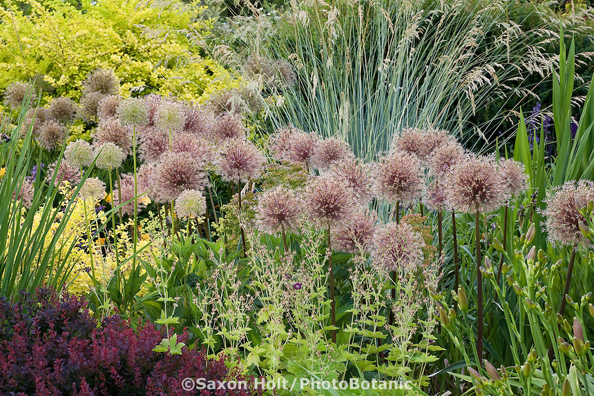 Flowering bulb, ornamental onions (Allium) in waterwise mixed border demonstration garden at Bellevue Botanic Garden, Washington.