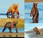 Alaskan Coastal Brown Bear, Golden Female, Boar and Cub, Silver Salmon Creek, Lake Clark National Park, Alaska